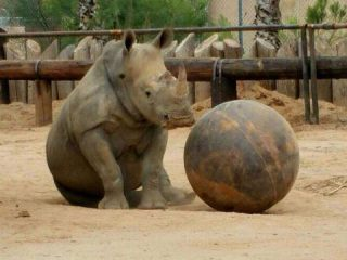 white rhino with large ball