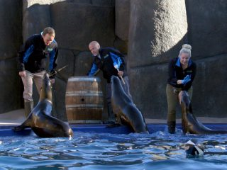 sea lions with trainers