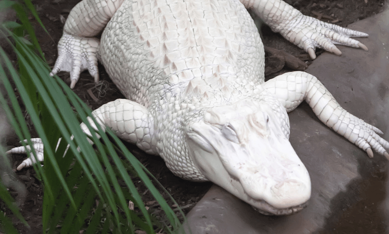 Rare White Alligator Wildlife World