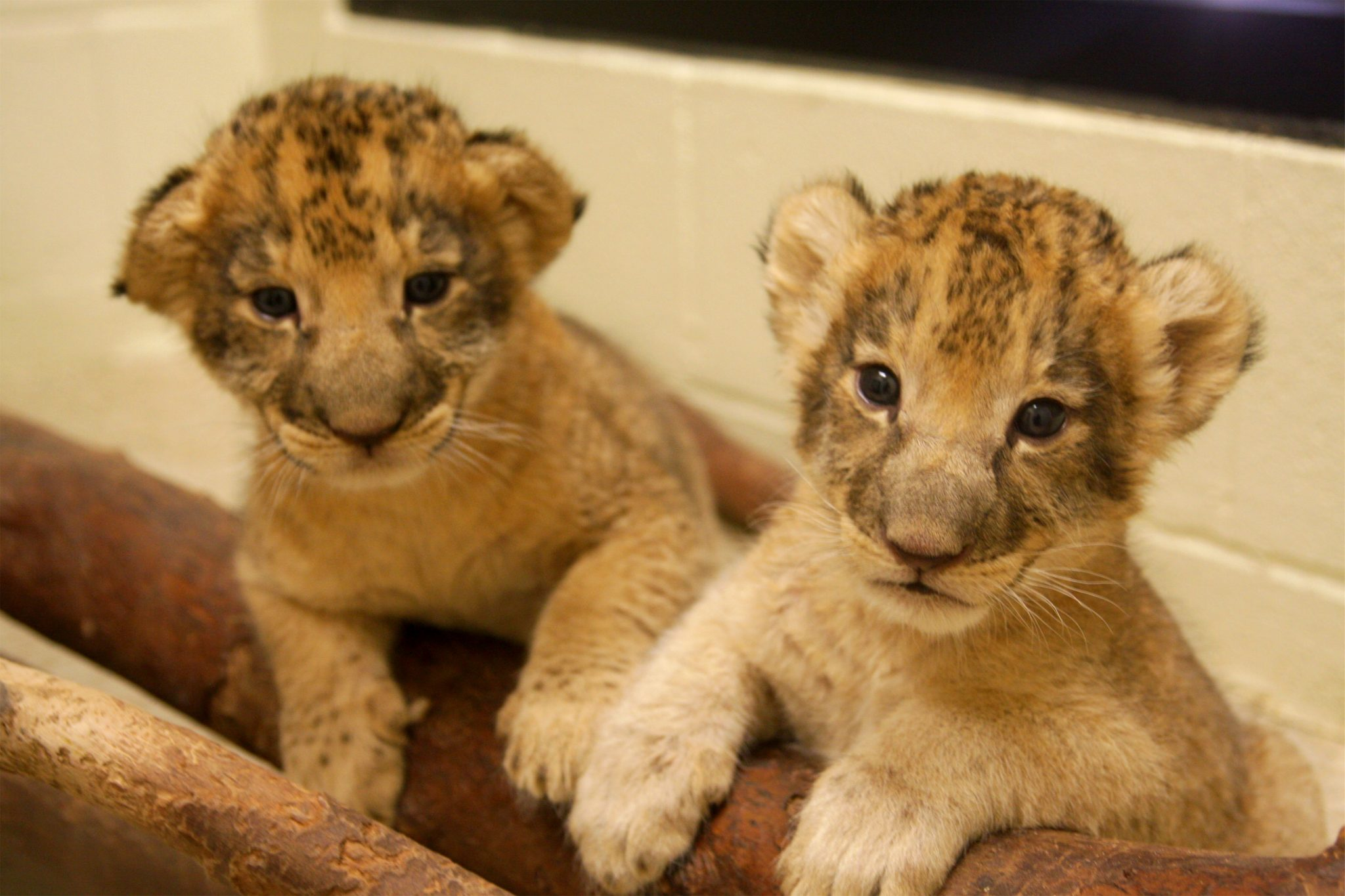 Our Lion And Lioness Cub Wildlife World