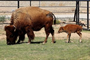Female Baby Bison