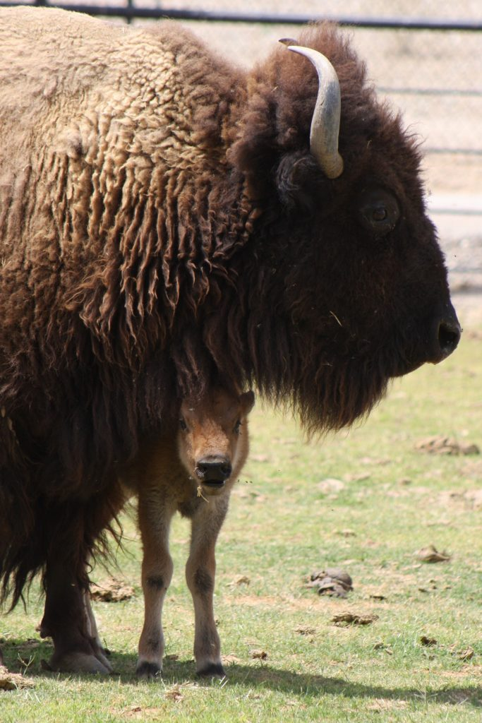 The First Bison Born at Wildlife World Zoo